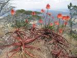 Aloe cameronii - Monte Chuala