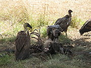 180px-White-backed vultures eating a dead wildebeest-1-