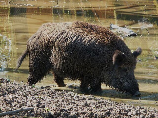 File:Wild boar.jpg