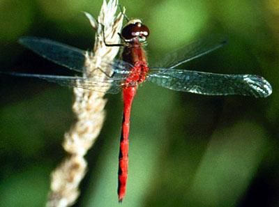 File:Odonata.jpg