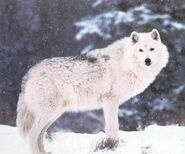 White Wolf in Snow JPG