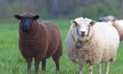 Roese Grove sheep