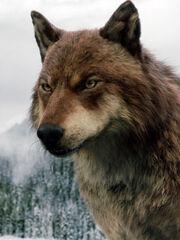 Zdravko Struna wolf