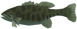 Smallmouth bass raw