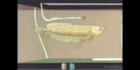 Kimura's fish