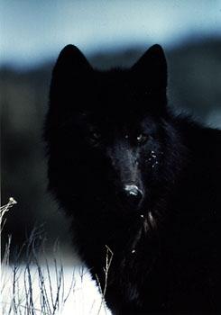 File:The Wolf.jpg