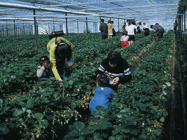 File:Matsunami Strawberry.jpg