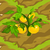 Yellow Tomatoes 70