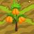 Kumquat 70