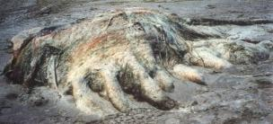 304px-Four Mile Globster