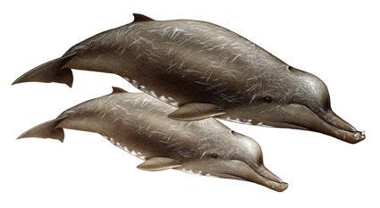 File:Arnoux's beaked whale1342722207109.jpg