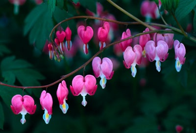 File:Define-bleeding-heart-1.jpg