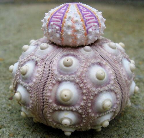 File:Shell Ball.jpg
