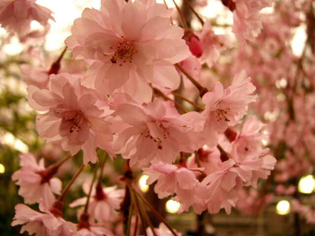 ファイル:Sakura Flower by BoyOPhotos.jpg