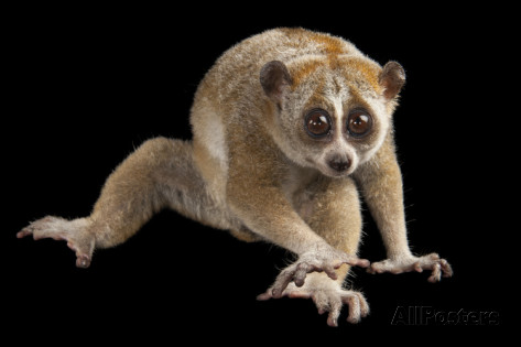File:Pygmy-slow-loris.jpg