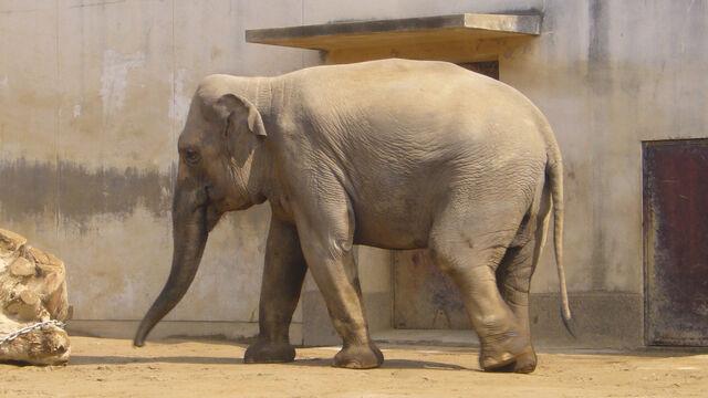 File:Elephas maximus bengalensis02 1920.jpg