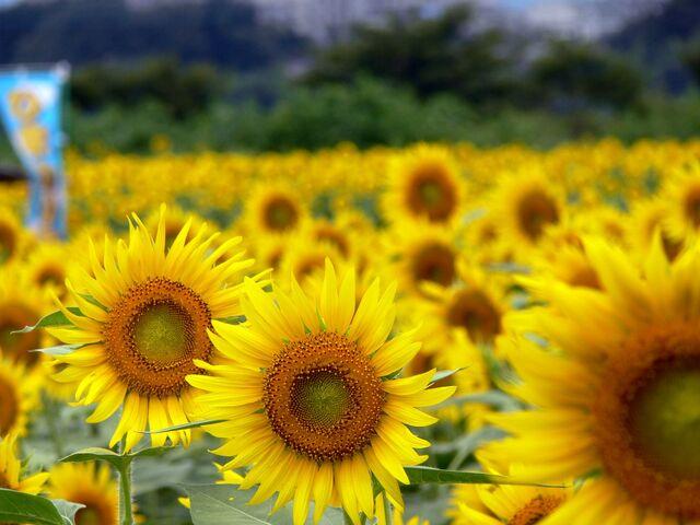 File:Matsuri sunflowers.JPG