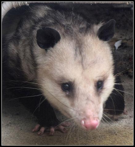 File:Opossum tear? DSC 0008.jpg