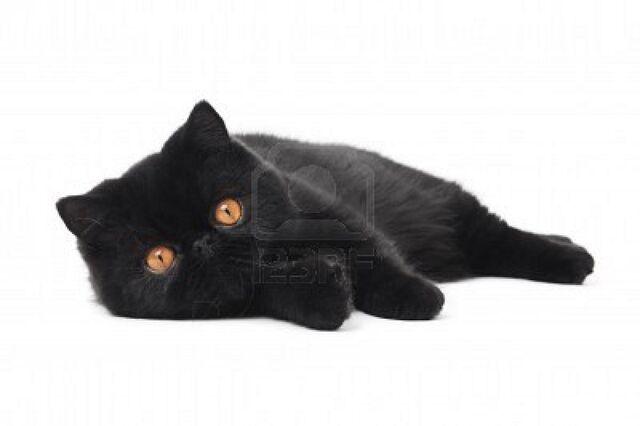 File:9234339-one-lying-black-exotic-shorthair-kitten-cat-isolated-on-white-1-.jpg