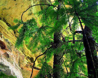 File:Wollemi pine planfor03.jpg