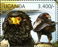 Uganda 2012 Fauna of African Great Lakes Region - Birds of Prey - Western Marsh Harrier b