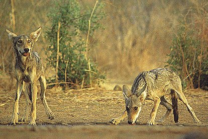 File:Indianwolves.jpg