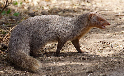 Indian Mongoose
