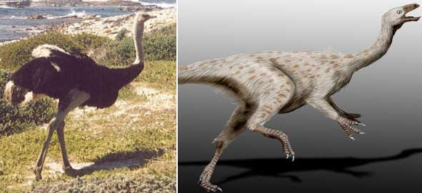 File:Ostrich to struthiomimus.jpg