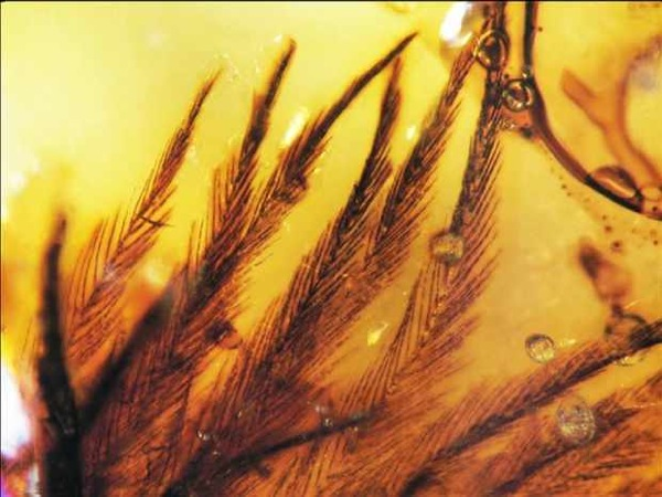 File:Dinosaur-Feathers-Found-in-Amber.jpg