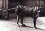 Tigre-de-tasmanie-thylacinus-cynocephalus 1146 w560