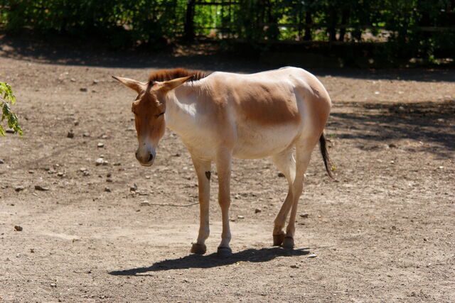 File:Rostov-on-Don Zoo Persian onager IMG 5268 1725.jpg