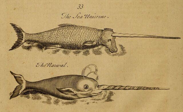 File:Pierre Pomet Complete History of Drugs sea-unicorn narwhal.jpg