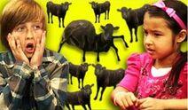 Kr cows cows cows
