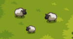 Scn2 Sheep