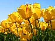 Tulips?
