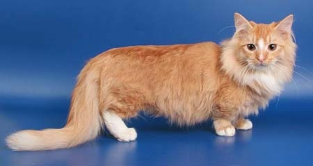 White Munskin Cat