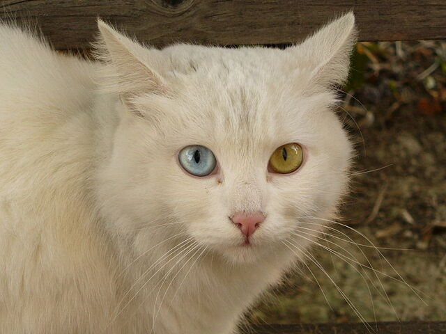 File:Cat Briciola with pretty and different colour of eyes - Odyssey Eyes they excist!.jpg