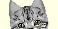 American Shorthair - Silver Tabby (fur)