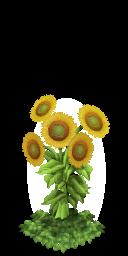 Sunflowers last
