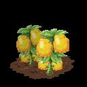 Yellow squash last