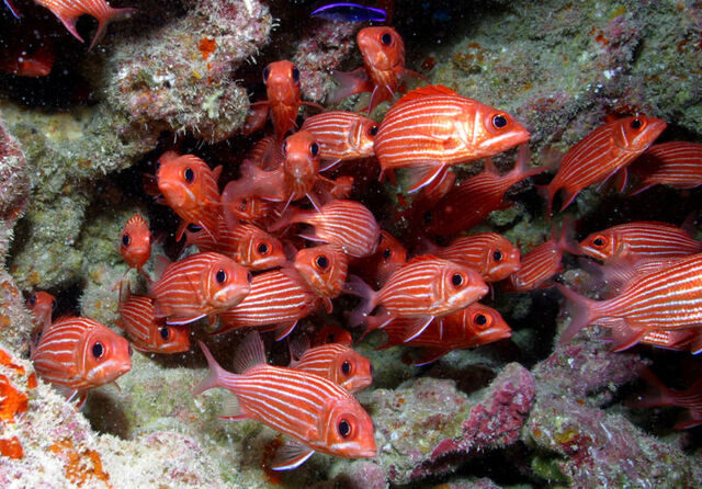 File:800px-School of reef fish at Rapture Reef, French Frigate Shoals.jpg