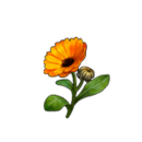 Healing calendula