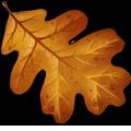 Coll leaves oak