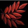Coll leaves rowan