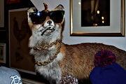 Gangsta fox