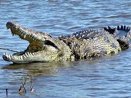File:African Crocodile.jpg