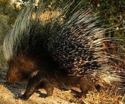 File:Porcupine-ig.jpg