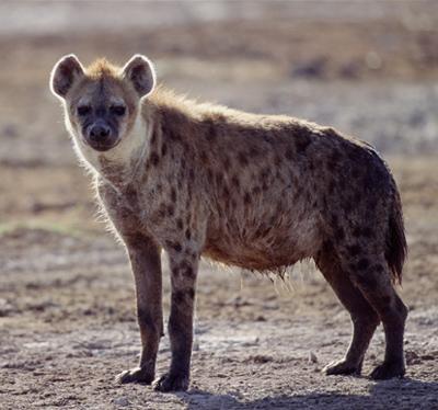 File:Hyena2.jpg