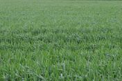 Grassy field in the wind