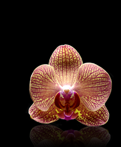 File:LADY GAGA FAME Tiger Orchidea.png